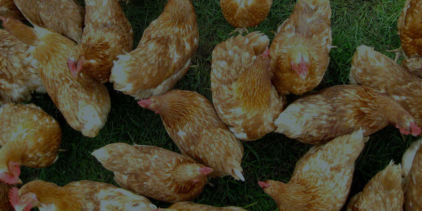 backgrounds/background-poultry.jpg